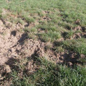 Schwarzwildschaden im Grünland: Aufgewühlte Grasnarbe