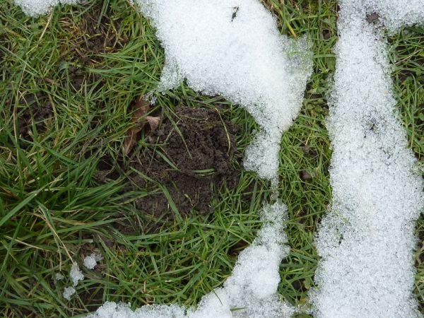 Wühlmaushaufen im Rasen