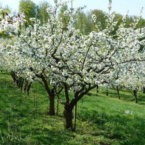 Kirschblüte - die Region um Witzehausen läutet das Frühjahr mit dem Weiß der Kirschbäume ein