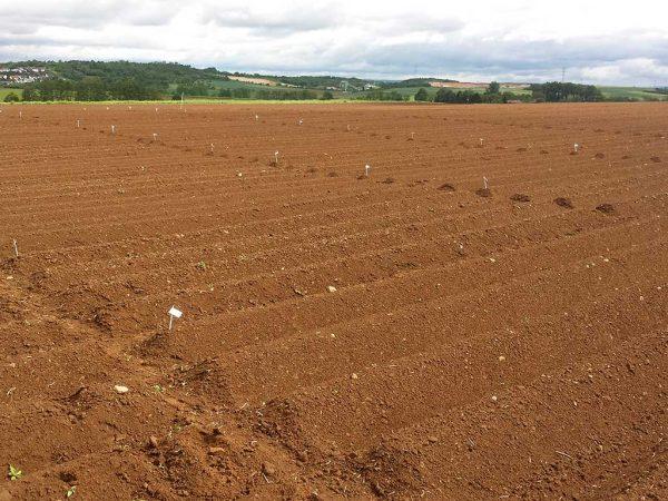 Herbizidversuch in Kartoffeln