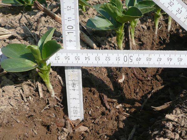 Auf 6,5 cm abgelegte Ackerbohne