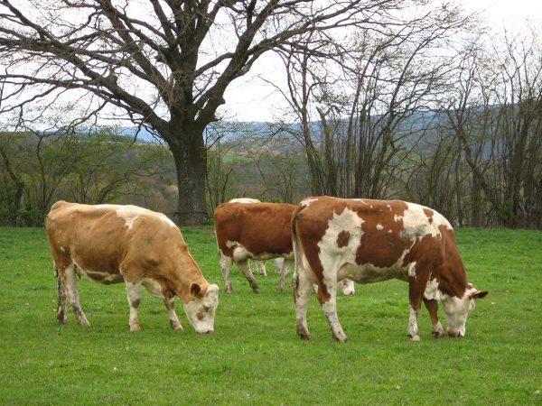 Kühe auf Weide, im Hintergrund kahle Vegetation