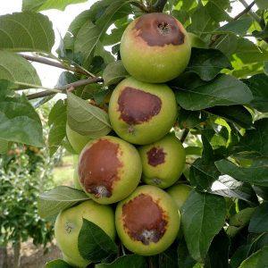 Hitzeschäden - Äpfel
