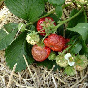 Hitzeschäden - Erdbeeren