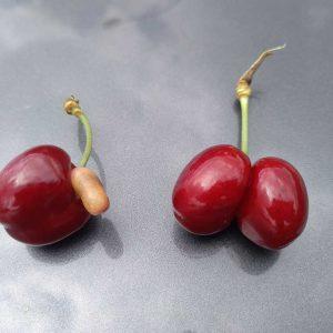 Hitzeschäden - Zwillingsfrüchte_bei Kirschen