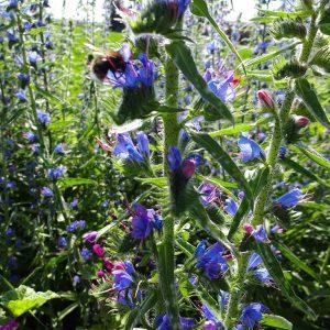 Blauer Natternkopf mit Biene