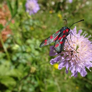 Trauben-Skabiose mit einem typischen Besucher, dem Kleewidderchen (Schmetterling). Die Raupen bevorzugen Klee, auch den Gemeinen Hornklee, der im Garten leicht anzusiedeln ist.