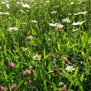 Kräuterwiese Anfang Juni