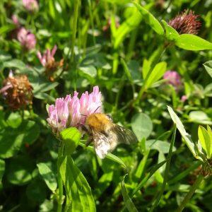 Ackerhummeln (Bombus pascuorum) sind anpassungsfähige Kulturfolger. Sie finden im Lebensraum Garten mit Kräuterrasen Nahrung beim Wiesenklee, auch Rotklee genannt.