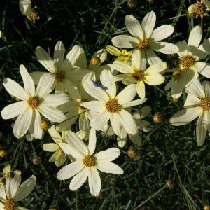 Mädchenauge Moonbeam, Begleitstaude der Staudenmischung Blütentraum