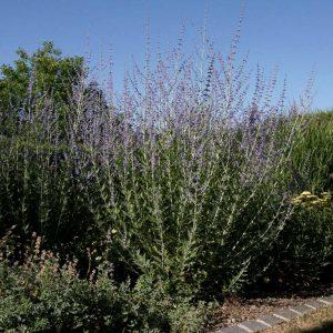Perovskie, Gerüstpflanze der Staudenmischungen Silbersommer, Präriemorgen und Indianersommer