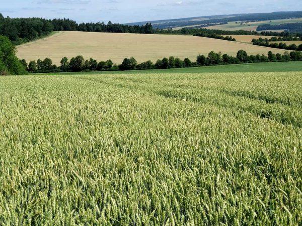 Sorgfältige Bewirtschaftung der Vermehrungsflächen ist Voraussetzung für gute Saatware