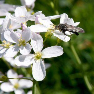 Wiesen-Schaumkraut-Blüte mit Insekt