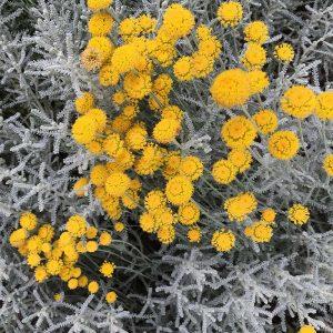 Silbrigblättriges Heiligenkraut (Santolina chamaecyparissus)