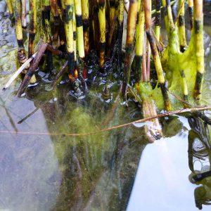 Jochalgen hängen an den Stängeln von Wasserpflanzen