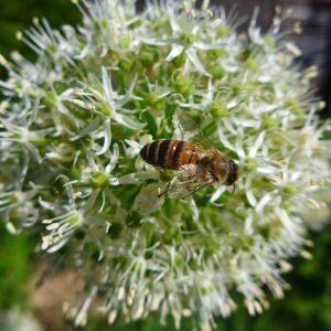 Biene am Lauch