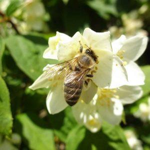 Bienenbesuch auf einer Pfeifenstrauchblüte