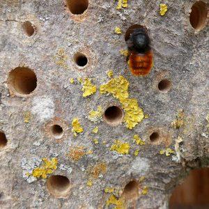 Gehörnte Mauerbienen besiedeln auch Holzlöcher