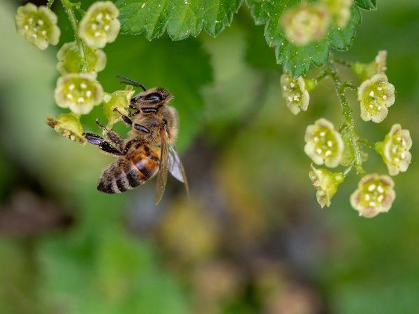 Biene an Johannisbeerblüten