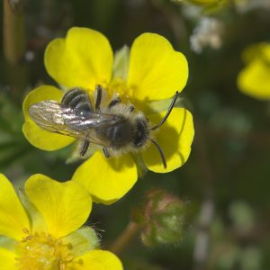 Frühlings-Fingerkraut, Blüte mit Biene