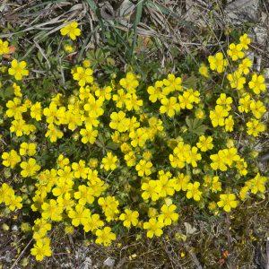Frühlings-Fingerkraut, Tuff im Kalksteinbruch
