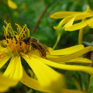 Silphie mit Insekt