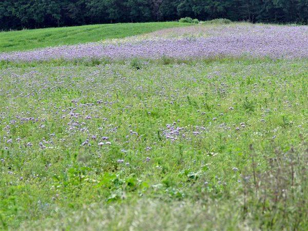halbseitig bewirtschaftete Rebhuhn-Blühfläche