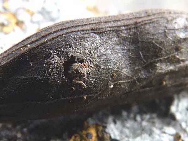 Abbildung 3 - Schlüpfender Ackerbohnenkäfer; Foto: Michael Lenz, Pflanzenschutzdienst Hessen