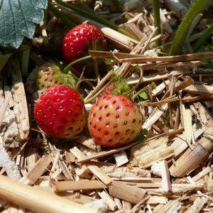 Erdbeeren auf Miscanthus-Mulch