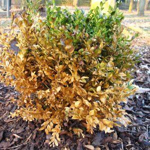 Pflanzenschaden, u.a. durch unsachgemäßes Mulchen