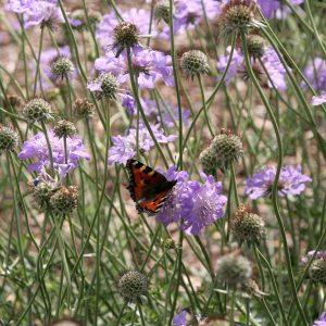Traubenskabiose: Butterfly Blue