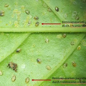 Bemisiapuparium parasitiert durch Encarsia und Eretmocerus