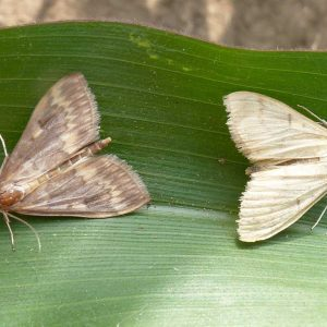 Maiszünsler-Männchen und -Weibchen
