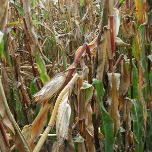 Maiszünsler-Starkbefall