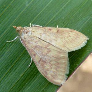 Maiszünsler-Weibchen