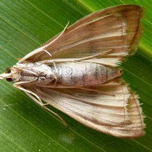 Maiszünlser-Weibchen, Unterseite
