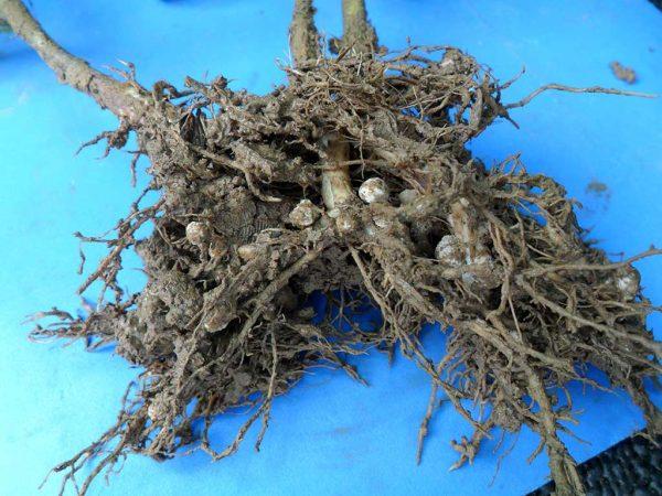 Abbildung 1: Ausgeprägte Wurzelknöllchen an einer Sojawurzel