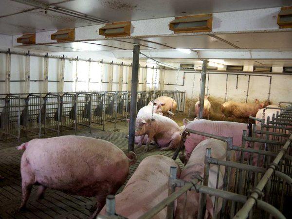 Abb. 4: Nach dem Umbau: Warteabteil mit Gruppenhaltung (Betrieb 4); Foto: BLE (Bundesanstalt für Landwirtschaft und Ernährung)