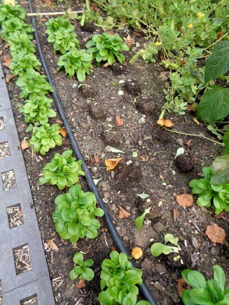 Feldsalat. Ein Teil des Feldsalates ist bereits geerntet. Man kann aber erkennen, dass die Erdpresstöpfe bei der Pflanzung nur auf die Bodenoberfläche gestellt wurden. Das erleichtert die Ernte und beugt Pflanzenkrankheiten vor.