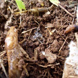 Ackernetzschnecken reagieren empfindlich auf Trockenheit. Weil die Eier nur eine vergleichsweise dünne Kalkhülle besitzen, trocknen sie schnell aus.