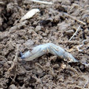 Diese junge Graue Wegschnecke (10 mm lang) ist, der Größe nach zu urteilen, vermutlich nach Niederschlägen Ende April 2020 geschlüpft. Sie hat zuvor eine sieben wöchige Trockenperiode unter einer Strohmulch erfolgreich überdauert.
