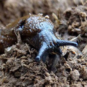 Die Spanische Wegschnecke (Arion lusitanicus) ist vergleichsweise mobil und an trockene Bedingungen angepasst. Sie taucht oftmals im Randbereich der Äcker auf.