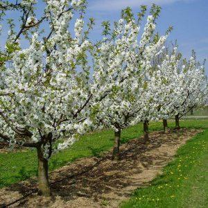 Blühende Kirschbäume in der Kirschenanlage Ockstadt