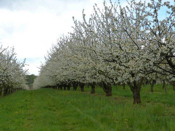 Süßkirschenanlage mit kleinkronigem Baumbestand
