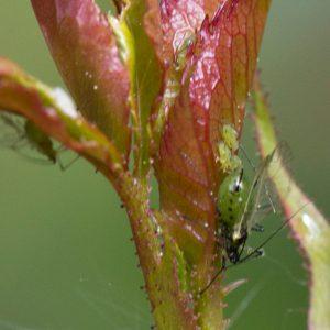 Große Rosenblattlaus - Macrosiphum rosae - ungeflügelte und geflügelte Tiere