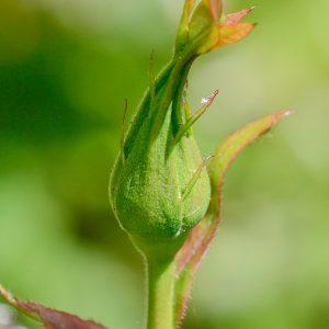 Rosenknospe ohne Blattläuse