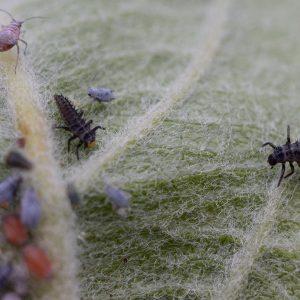Junge Marienkäferlarven in Blattlauskolonie