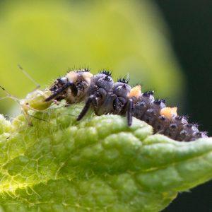 Siebenpunkt-Marienkäfer, Larve frisst Blattlaus