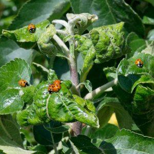 Siebenpunkt-Marienkäfer auf einer Apfelbaumtriebspitze
