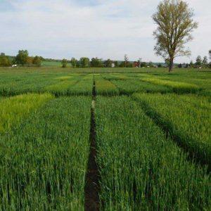 Blick über die Wintergersten-LSV-Felder